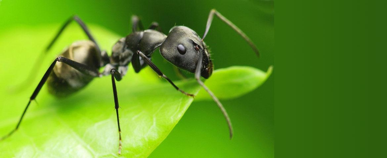 how to get rid of big black ants in garden