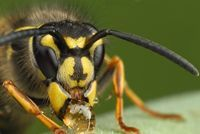 Image of German wasp