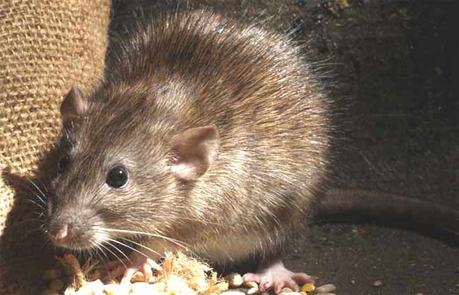 Image of Norway rat feeding